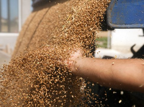 hand-with-wheat-grains-3
