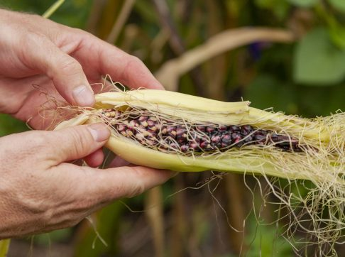 ga-corn-lb0710_0936-1600